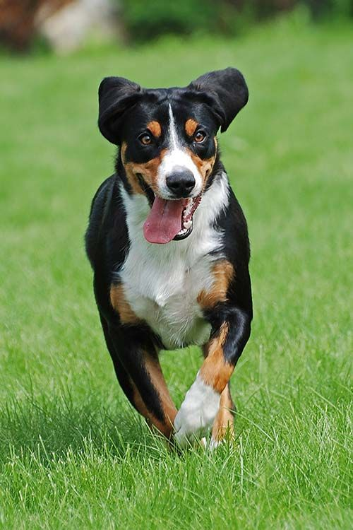 Appenzeller Sennenhund Dog Breed Information American Kennel Club Via Www Akc Org Dog Breeds Appe Dog Breeds Entlebucher Mountain Dog American Kennel Club