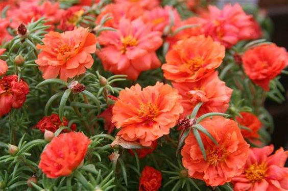 PORTULACA Moss rose- DOUBLE ORANGE, Great In Containers ! Wonderful drought tolerance of this low growing annual flower.