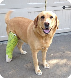 Temecula, CA - Golden Retriever/Labrador Retriever Mix. Meet Macy Grace, a dog for adoption. http://www.adoptapet.com/pet/15137412-temecula-california-golden-retriever-mix