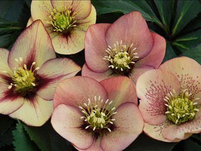 Helleborus, or Lenten Rose.  Mango
