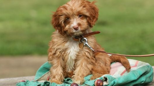 Cavapoo Puppies For Sale Cavapoo Puppies Cavapoo Greenfield Puppies