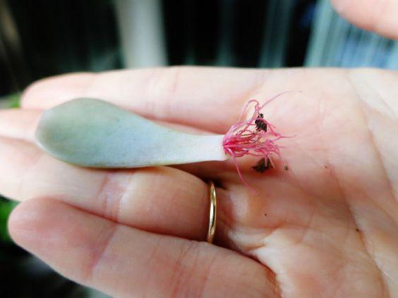 boutures cactus et succulentes (3)