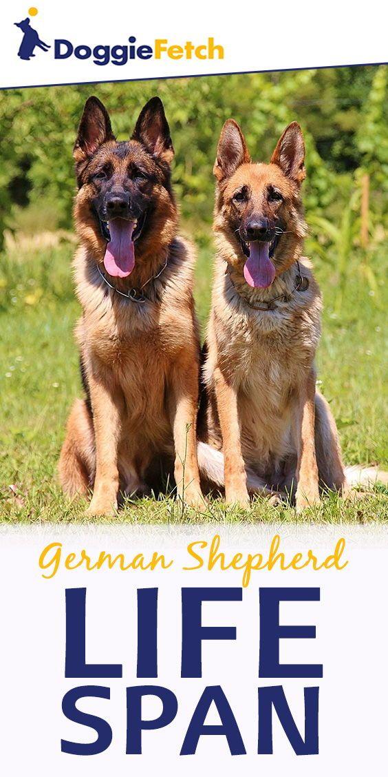 The German Shepherd Life Span Updated German Shepherd Life Span