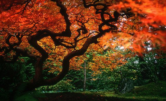 In the house of the Japanese Maple