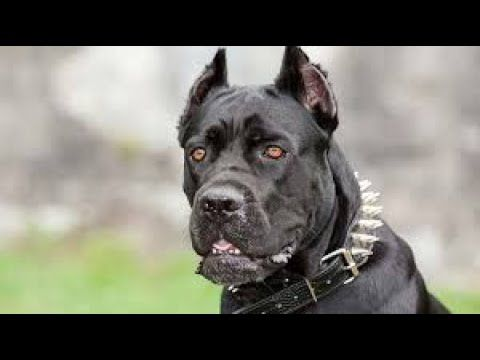 Wishwas Pet World India Youtube In 2020 Dog Breeds Cane Corso Cane Corso Dog