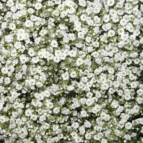 Babys Breath Buy Online In Alhambra Flower Shop Babys Breath Babys Breath Flowers Babys Breath Bouquet Bridesmaids