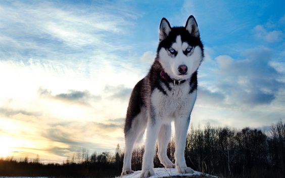 青空とおしゃれでかっこいいハスキー犬の壁紙