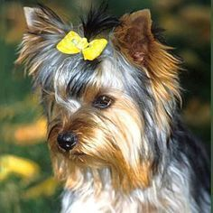 How to Groom a Yorkshire Terrier -- via wikiHow.com