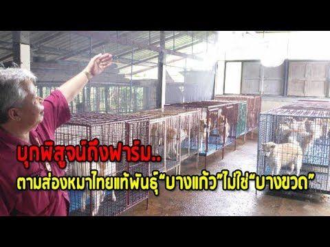 2 บ กพ ส จน ถ งฟาร ม ตามส องหมาไทยแท พ นธ บางแก ว ไม ใช บางขวด Youtube
