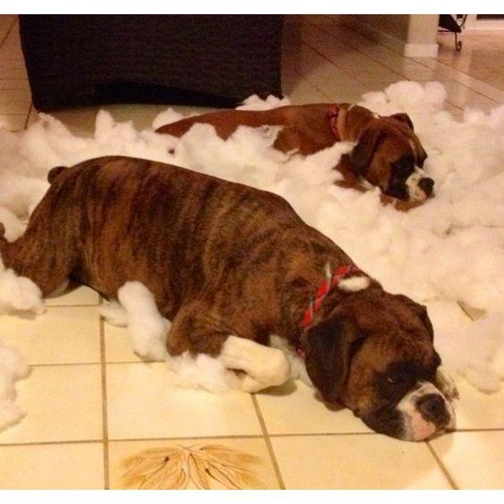 Naughty Boxer Pups - destroyed my sofa cushion grrrr!!