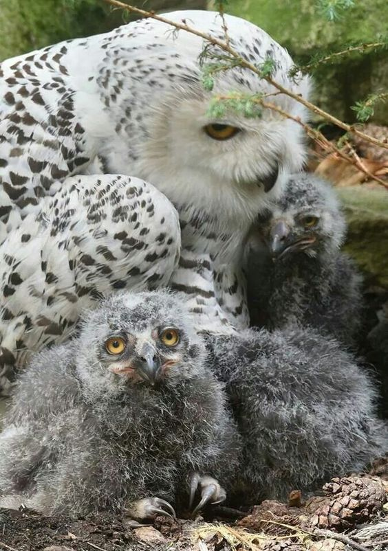 Mom Snowy Owl ~ With Her Young Owlet Fledglings.  ~ IT'S GRUMPY OWL! LOL