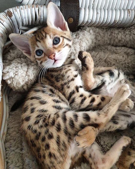 F2 Savannah Kitten In 2020 Savannah Kitten Savannah Cat Cats And Kittens