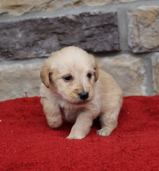 Pick Me Only If You Re Ready For Loads Of Fun I M Kelsey A Lovable Mini Labradoodle Puppy My Coat Is A Stunning Red And I Firs Mini Labradoodle Puppy Puppies For Sale