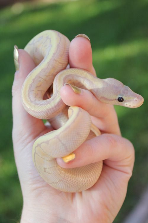snakes for pets