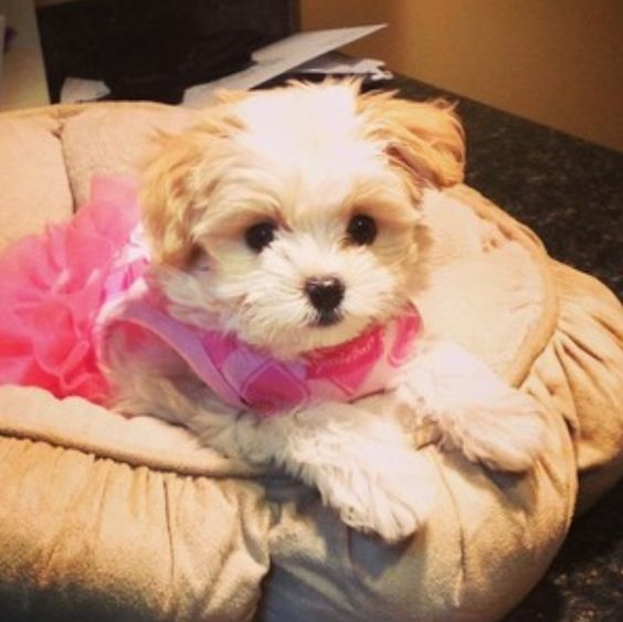 What Breed Is Mackenzie Ziegler Dog Maliboo
