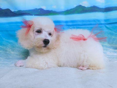Poodle Toy Puppy For Sale In Hammond In Usa Adn 92147 On Puppyfinder Com Gender Male Age 8 We Puppies For Sale Toy Puppies For Sale Mixed Breed Puppies