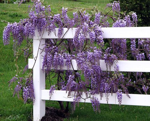 wisteria against a white fence