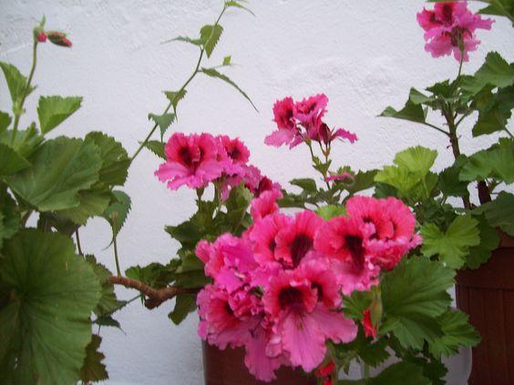 geranio rosa