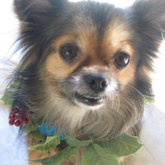 Long haired Chihuahua. Precious.