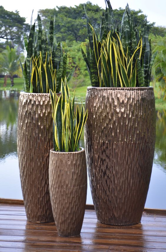 The Pottery Patch metallic copper tall egg garden planters. Tallest two pots: Sanseveria 'Black Coral' fronted by Sanseveria 'Black Gold Extreme.' Smallest pot: Sanseveria 'Black Gold Extreme' Plant design provided by Pamela Crawford
