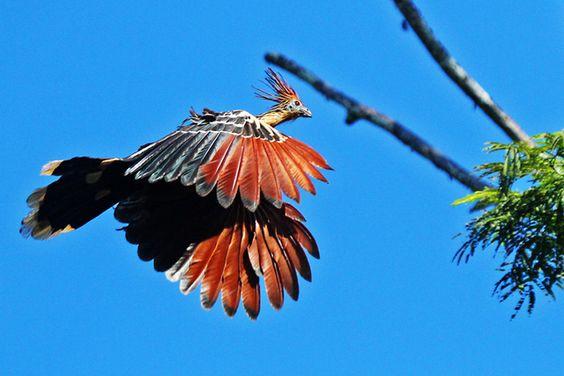 Foto cigana (Opisthocomus hoazin) por Cassiano Zaparoli (ZAPA) | Wiki Aves - A Enciclopédia das Aves do Brasil