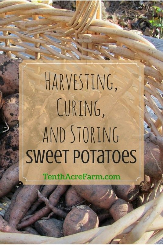 Harvesting, Curing, and Storing Sweet Potatoes.