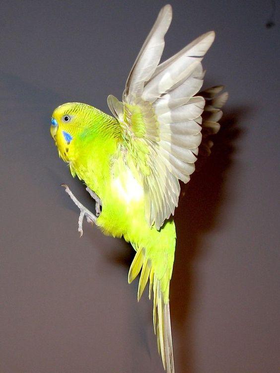 Budgie in flight 14 by ~greencheek on deviantART