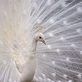 I've always wanted an albino peacock roaming around my island estate :-)
