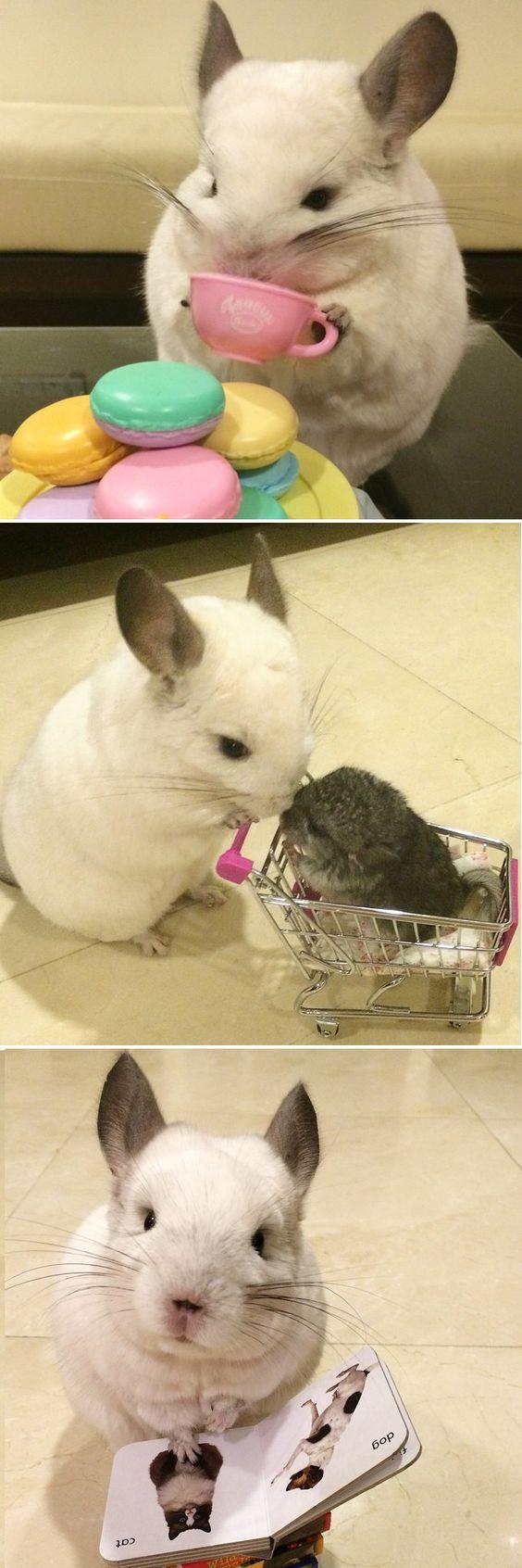 """Por que sabemos que """"Bubu la Chinchilla"""" tiene sus necesidades. Conoce nuestros productos disponibles para CHINCHILLAS y también otros pequeños animales acá http://www.amigales.cl/pequenos-animales/chinchillas.html  #chinchillas #mascotas #amigales #tiendaMascotas"""