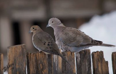 An opportunity to compare the Mourning Dove and the Eurasian Collared Dove. Dave Weth Four Feathers Photography