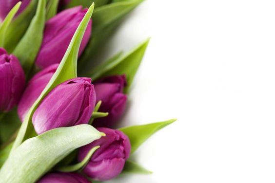 schöne dekoideen die tulpe lila blüten