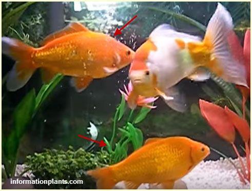السمكة الذهبية الشائعة سمك زينة انواع الاسماك انواع الاسماك مع الصور معلوماتية نبات حيوان اسماك فوائد Fish Pet Animals Pets