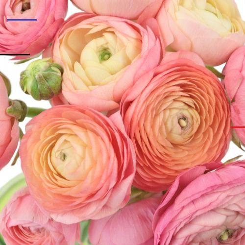 Peach Watermelon Wholesale Ranunculus Flowers Fiftyflowers Schoneblumen In 2020 Blumen Anbauen Blumenarrangements Hellrosa Blumen