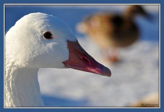 ~White Goose~Bokeh Mallard~ by Eddie The Bugman, via Flickr