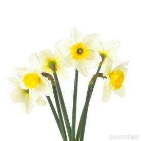 Daffodils are a tell tale sign that spring has sprung! Field Daffodils from Grower's Box are affordable, small Daffodils with pencil-like stems. Shipped as closed blooms, these little beauties will pop open in just a few short days. Daffodils are excellent for wedding and event decor as they can be easily arranged and are a fun and festive flower - whatever the occasion! For more information on Daffodils and other wholesale flowers and wedding flowers, please visit www.GrowersBox.com.