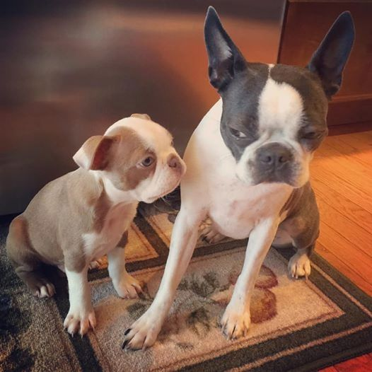 Baby Lux Dixon Getting The Stink Eye From Big Sister Bella Blue Pitbull Terrier Boston Terrier Boston Terrier Love