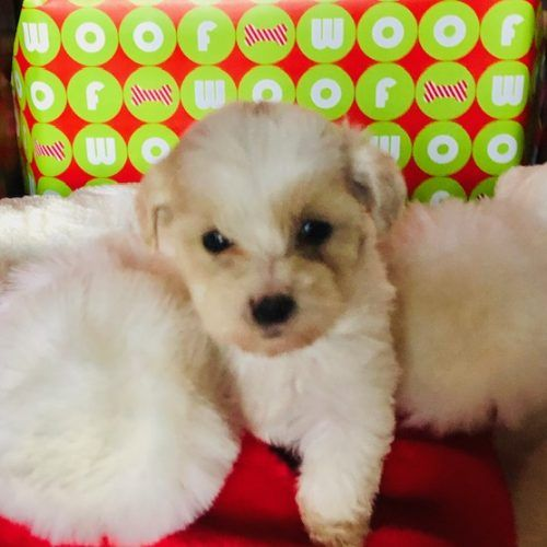 Mina Female Maltipoo Doggie For Sale At Enfield Connecticut Cute Puppies Puppies Puppies For Sale