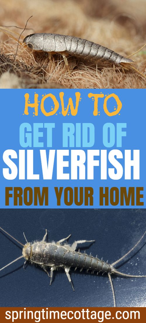 8bd5c77a816dc5a1110d2c31829f81bb - How To Get Rid Of Silverfish In House Uk