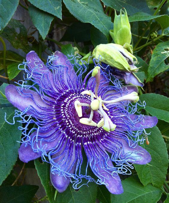 passiflora  (crazy hair!)