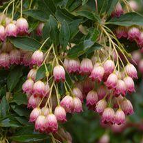 Enkianthus Plant - Campanulatus
