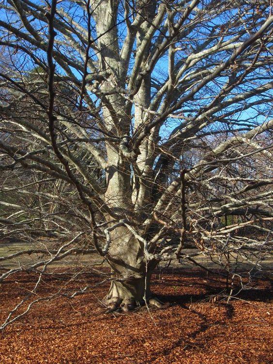 Polly Hill Arboretum   Beech Tree
