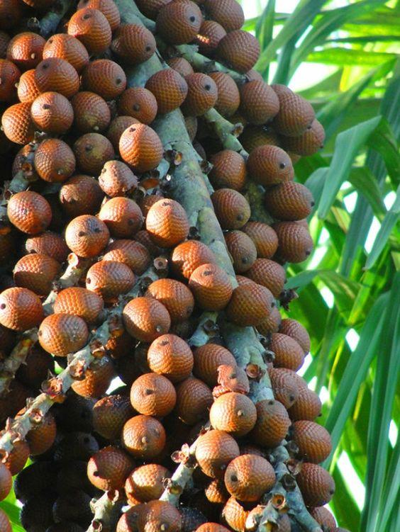 exotische früchte aguajebaum frucht