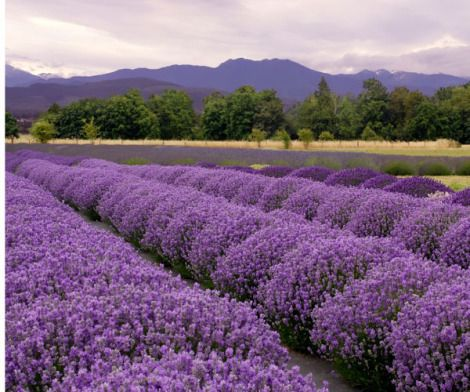 Can you smell the lavender?