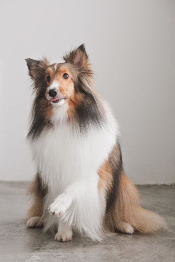 How to groom a Sheltie