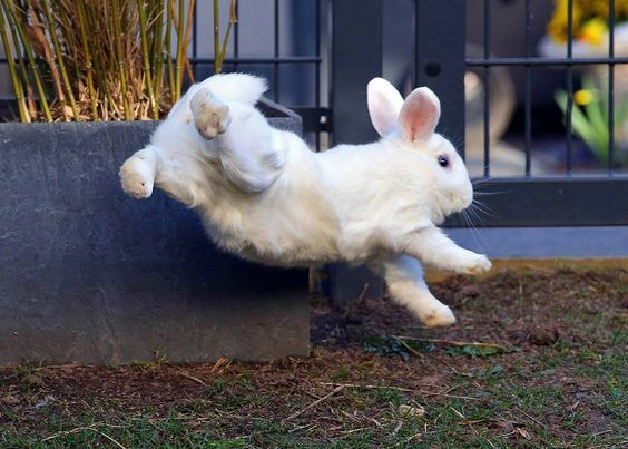 Image result for rabbits binkying