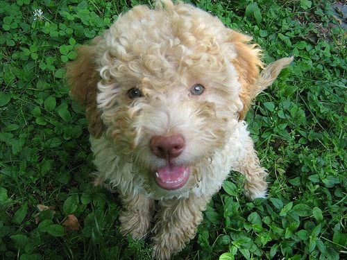 Cute Lagotto Romagnolo Puppy Sitting In Grass And Looking Up Dog Breeds Lagotto Romagnolo Puppy Dog Photos
