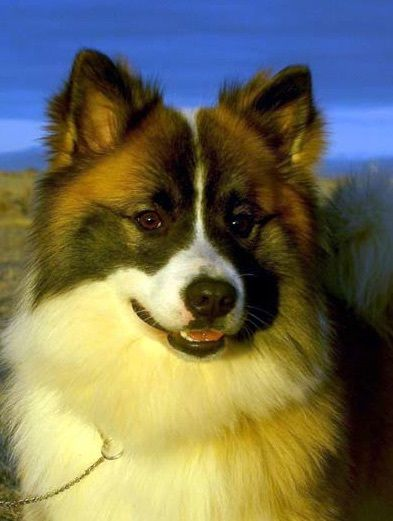 Iceland Dog Puppy With Images Icelandic Sheepdog Dogs Small