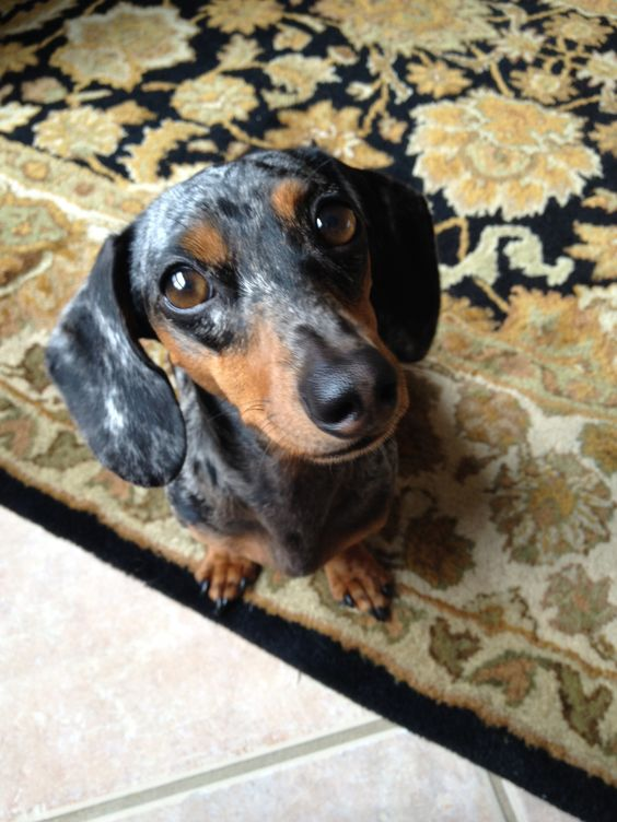 Lovely Lily - blue dapple dachshund