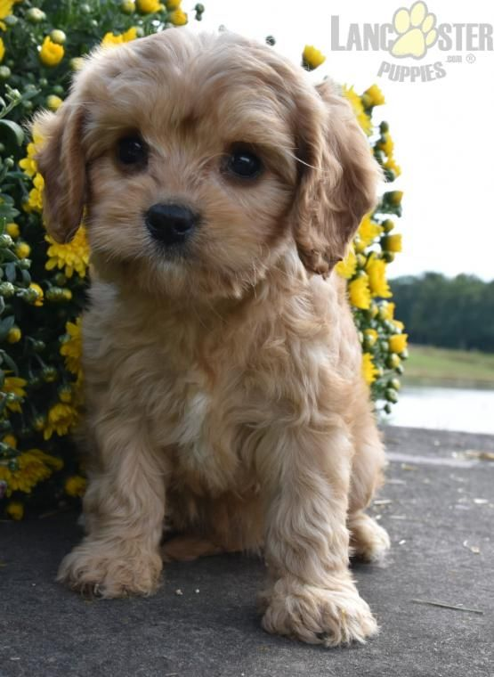 Elsa Cavapoo Puppy For Sale In Penn Yan Ny Lancaster Puppies Puppies For Sale Cavapoo Puppies Lancaster Puppies