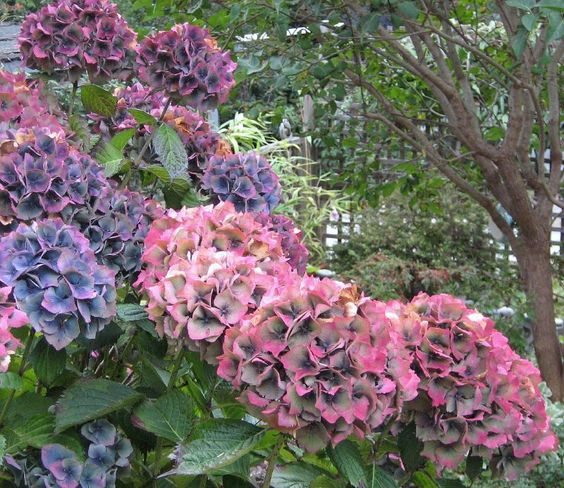 How to grow and care for hydrangeas gardens shrubs and a child - Caring hydrangea garden ...